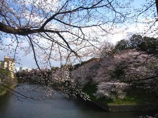 chidorigafuchi sakura.JPG