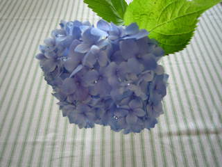 ajisai blue.JPG
