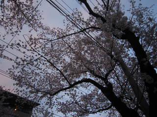 2015.sakura.JPG